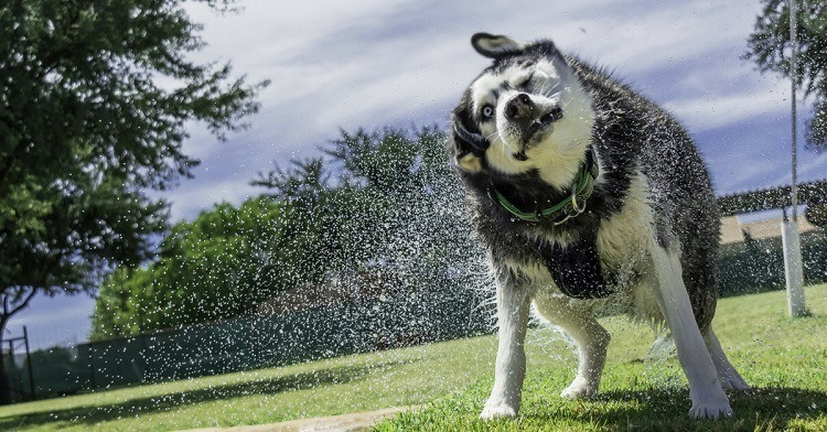Best Shampoo For Husky