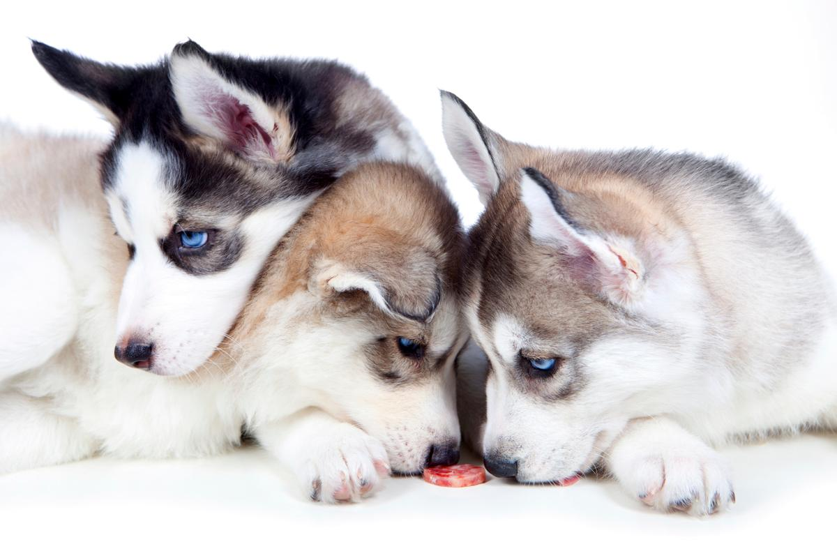 feeding-habits-of-Siberian-Huskies