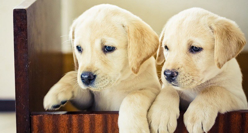 Can puppies leave mother at six weeks