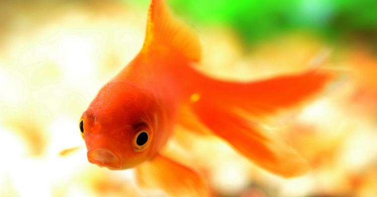 Do Goldfish Have Stomachs