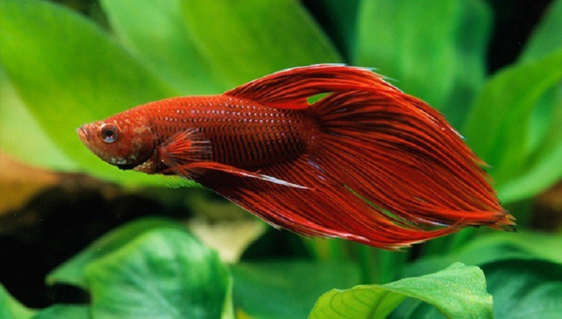 How-long-do-betta-fish-live-3