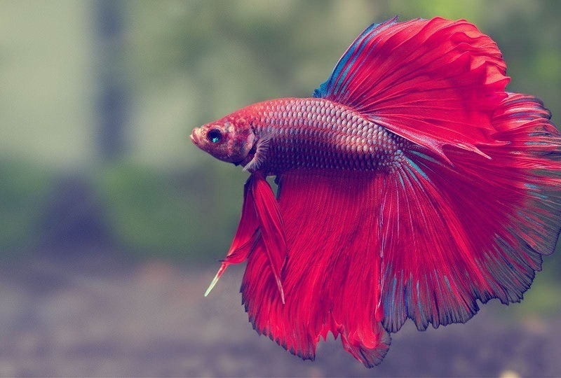 How-long-do-betta-fish-live-4