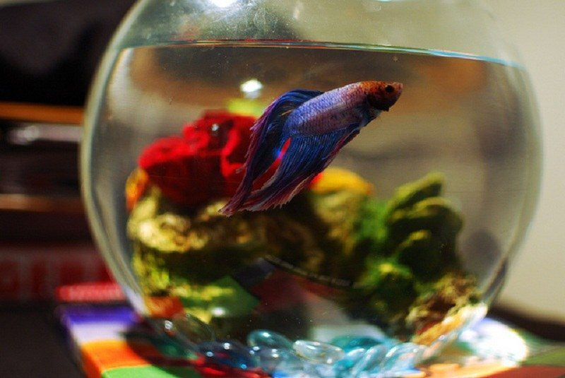 How-long-do-betta-fish-live-5