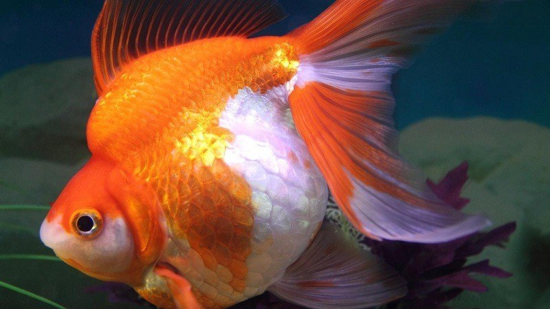 pregnant-goldfish-1