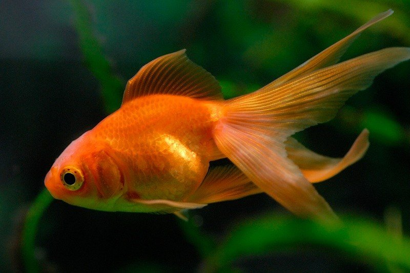 pregnant-goldfish-2