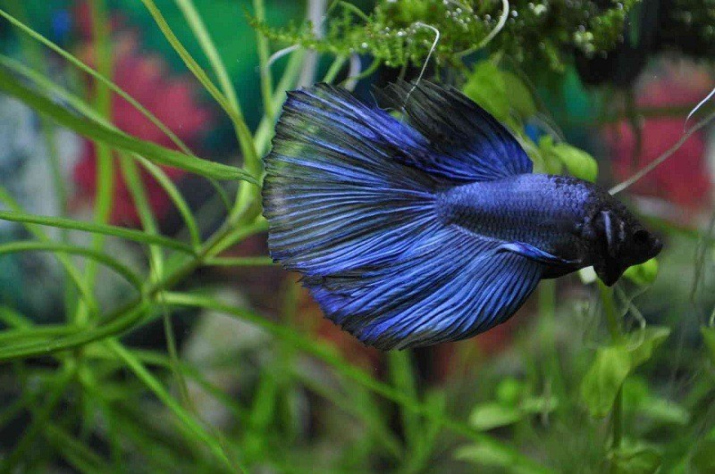 types-of-betta-fish-3