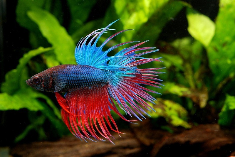 types-of-betta-fish-4