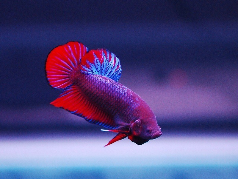 types-of-betta-fish-5