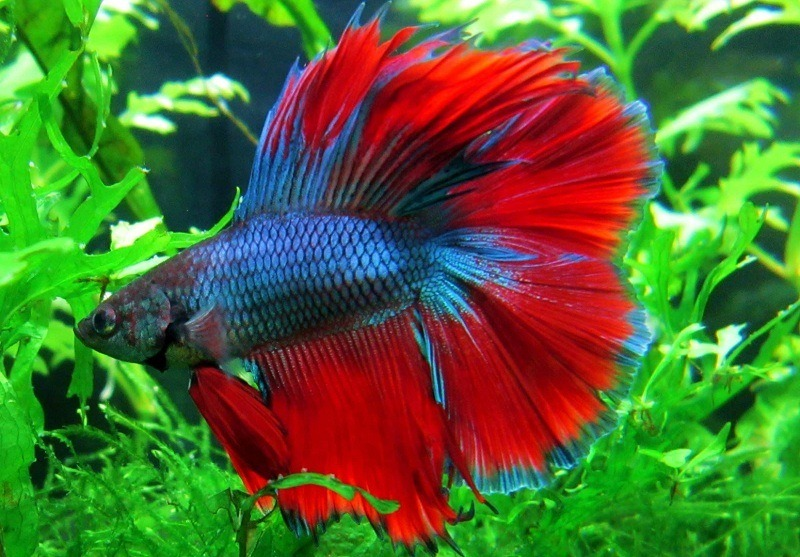 types-of-betta-fish-6