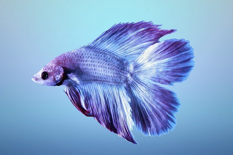 types-of-betta-fish-7