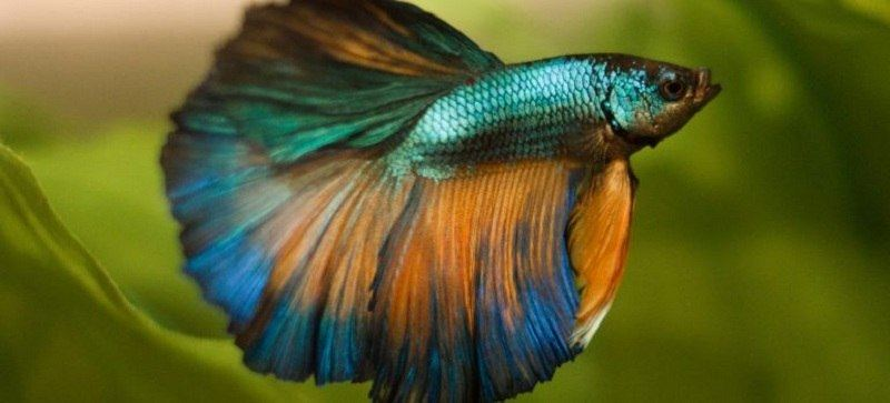 types-of-betta-fish-8