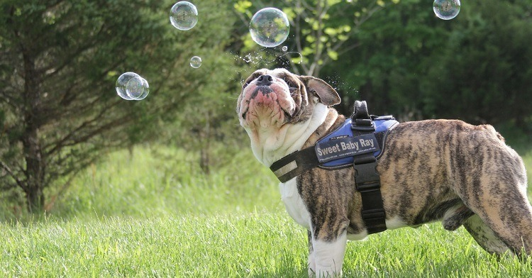 Best_Shampoo_For_Pitbulls_And_Bulldogs