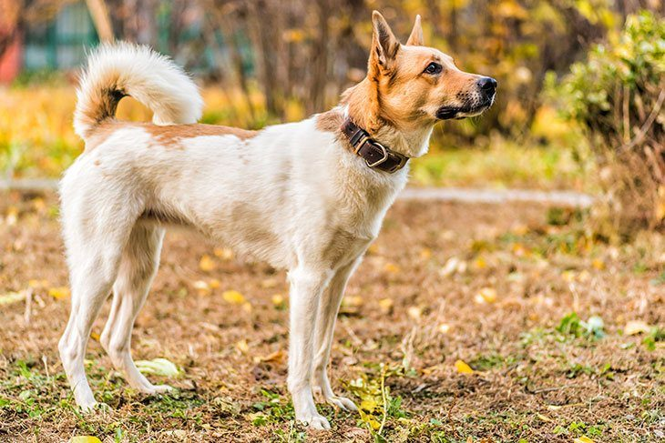 7 Awesome Facts To Make You Love German Shepherd Husky Mix