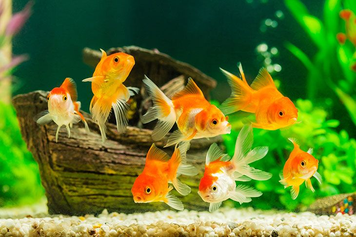 best food for aquarium goldfish