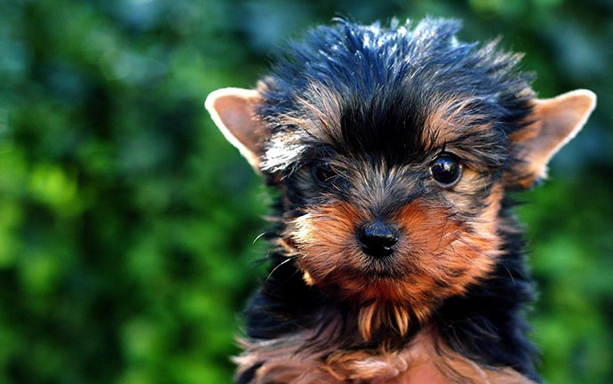 when do yorkies stop growing in height""