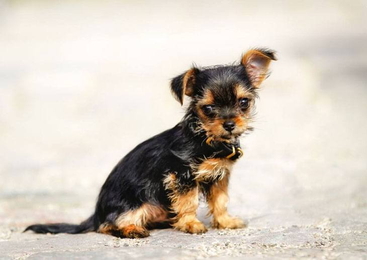 chihuahua terrier mix average lifespan