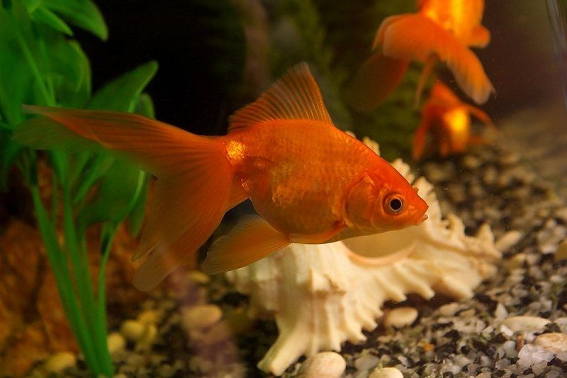 do goldfish eat algae