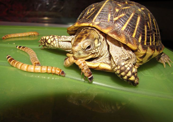 what do box turtles eat