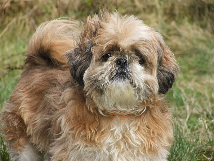 best dog grooming clippers for shih-tzu