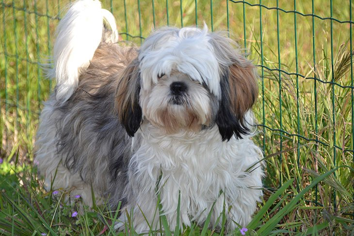 best dog clippers for shih tzu poodle mix